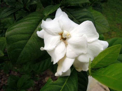 DSCN0353.Gardenia
