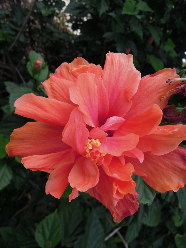 Enormous coral-colored hibiscus