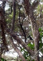 New Zealand pigeon. Doesn't it look like it's wearing an apron?