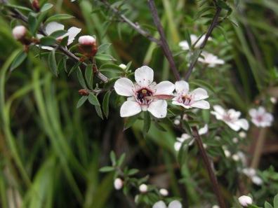 Manuka (tea tree).