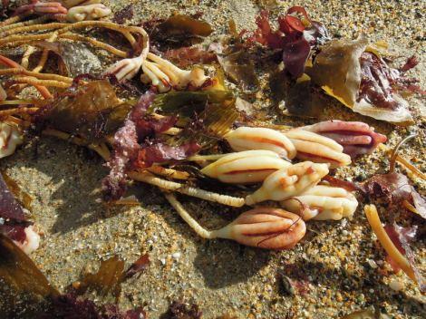 Sea plants on the beach near Oamaru, New Zealand
