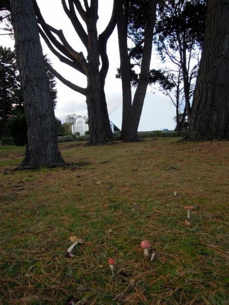 Amanita muscaria outside the Invercargill Visitors' Centre, New Zealand