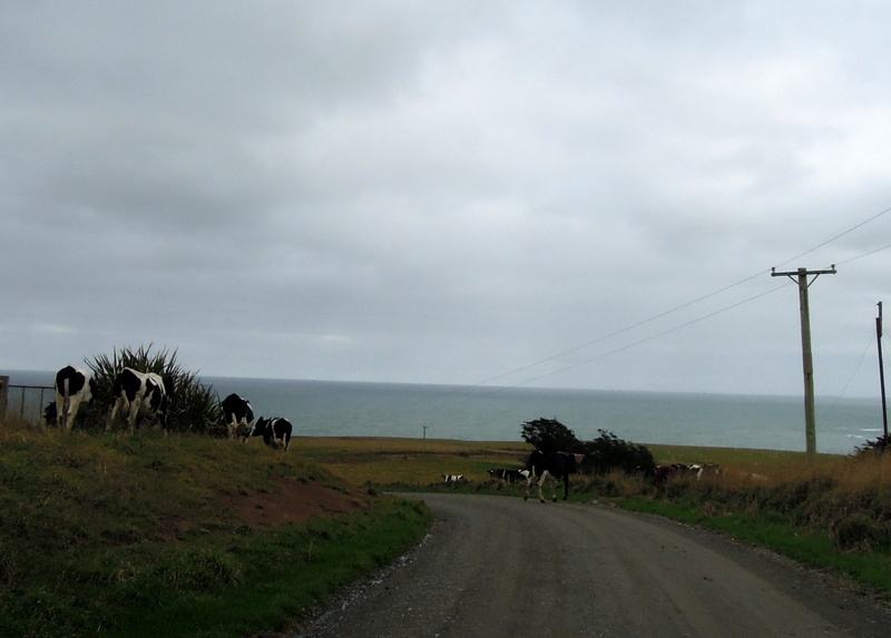 Roadside cows, South Island, New Zealand