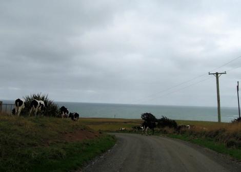 Roadside cows, South Island, New Zealand