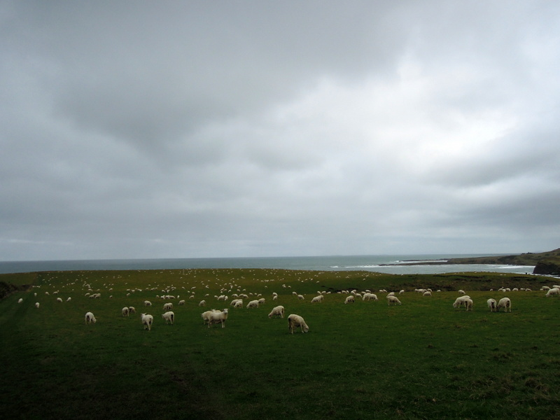 Sheep at Slope Point, New Zealand
