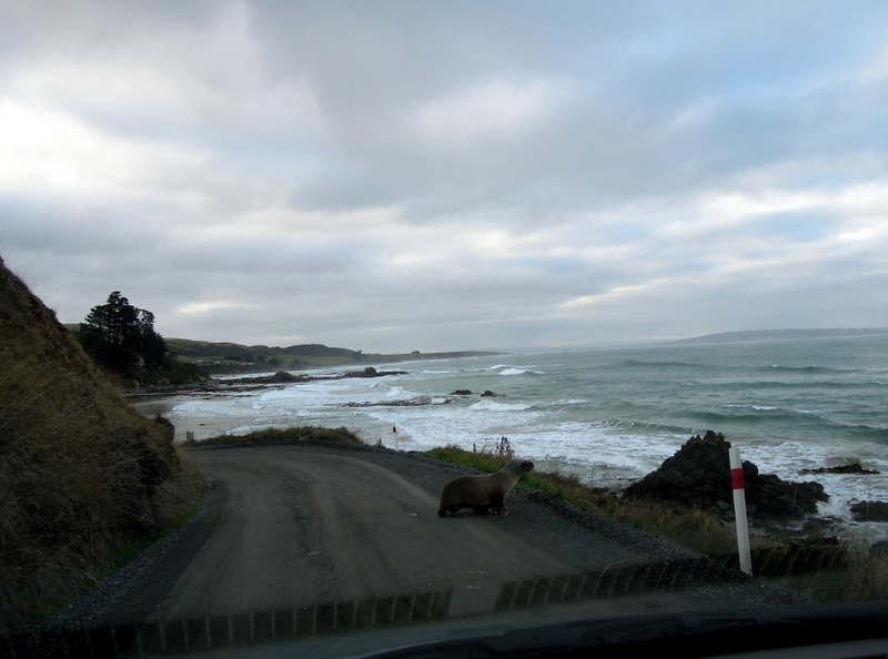 Sea lion on the road to Nugget Point, New Zealand