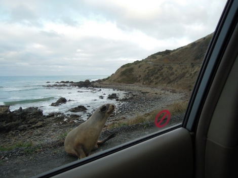 Sea lion outside car window on the road to Nugget Point, New Zealand