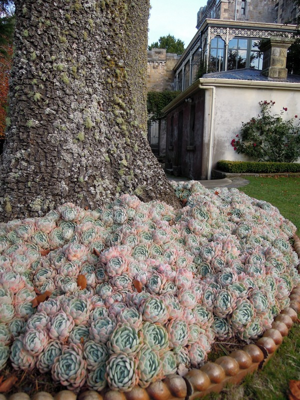 Pink and green succulents, gardens, Larnach Castle, New Zealand