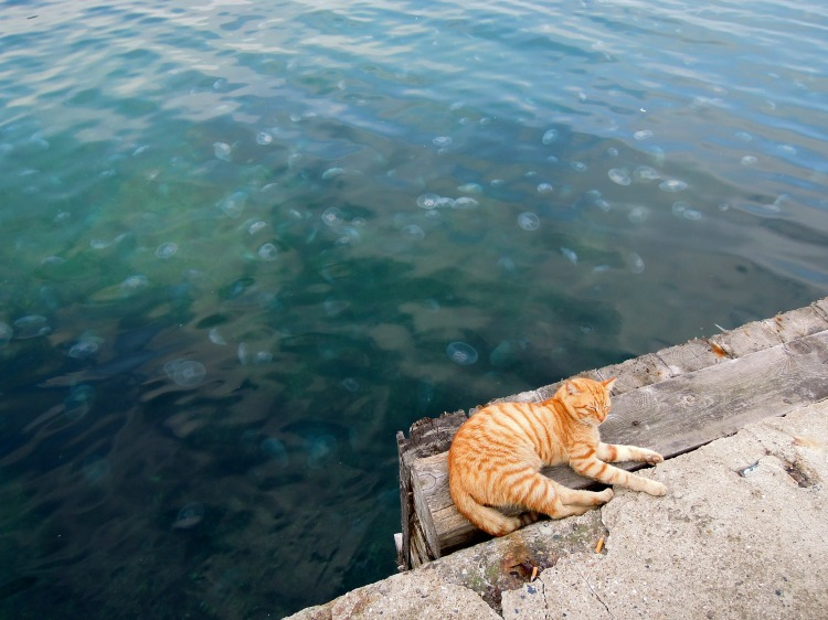Sleeping orange cat with jellies in the ocean behind, Heybeliada pier, Princes Islands, Istanbul