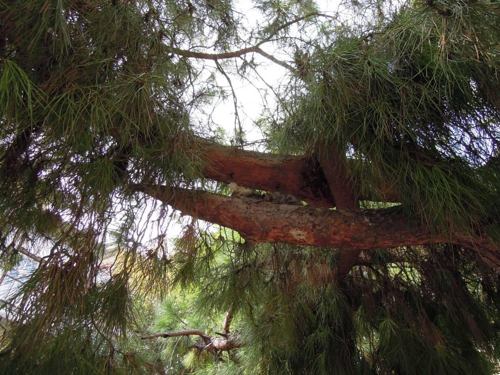 Napping cat in pine tree, Heybeliada, Princes Islands, Istanbul