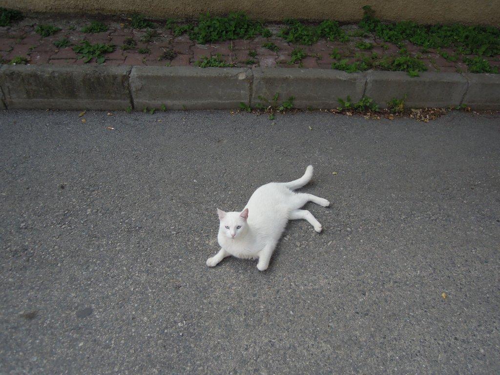 White cat, Heybeliada, Princes Islands, Istanbul