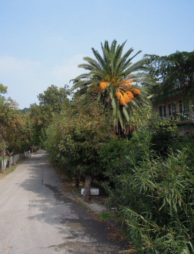 Palm tree with orange parts, Heybeliada, Princes Islands, Istanbul