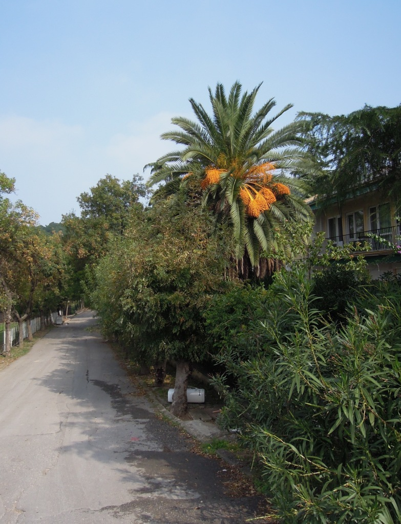 Palm tree, Heybeliada, Princes Islands, Istanbul