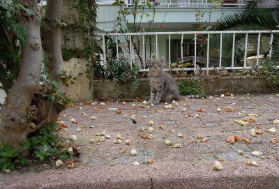 Grey striped cat, Heybeliada, Princes Islands, Istanbul