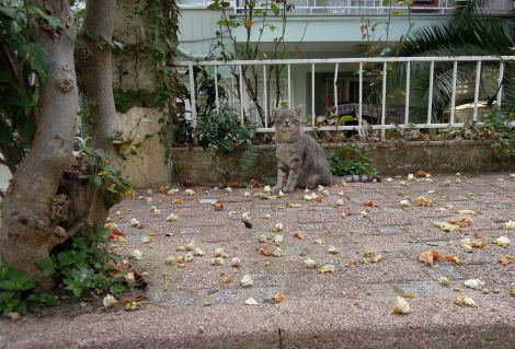 Grey cat, Heybeliada, Princes Islands, Istanbul