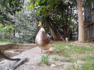 Duck and cat in a courtyard, Istanbul