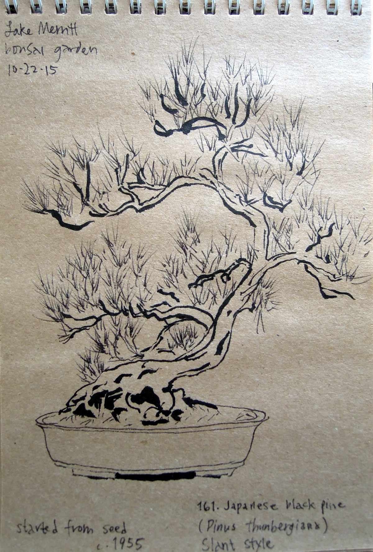 Sketch of Japanese black pine at the Bonsai Garden at Lake Merritt, Oakland