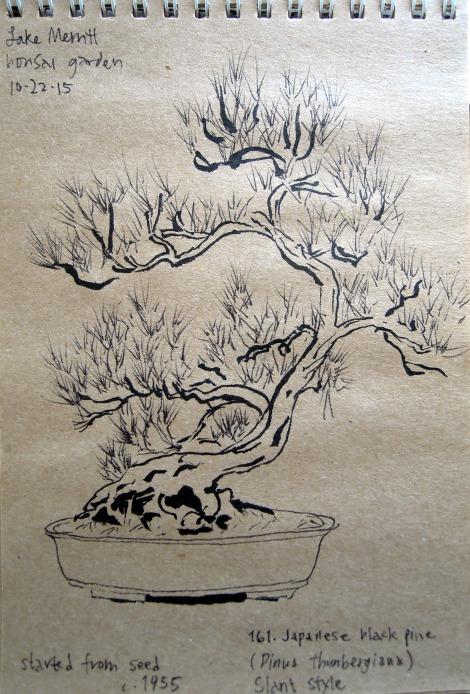 Sketch of Japanese black pine at the Bonsai Garden at Lake Merritt, Oakland