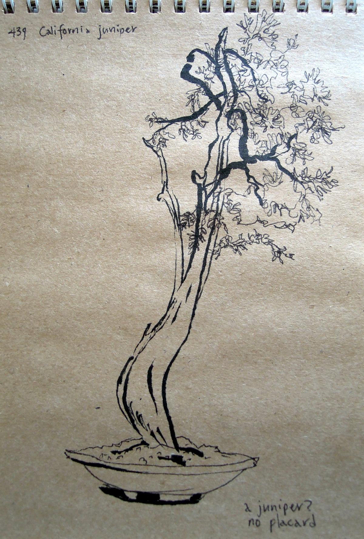 Sketch of California juniper at the Bonsai Garden of Lake Merritt, Oakland