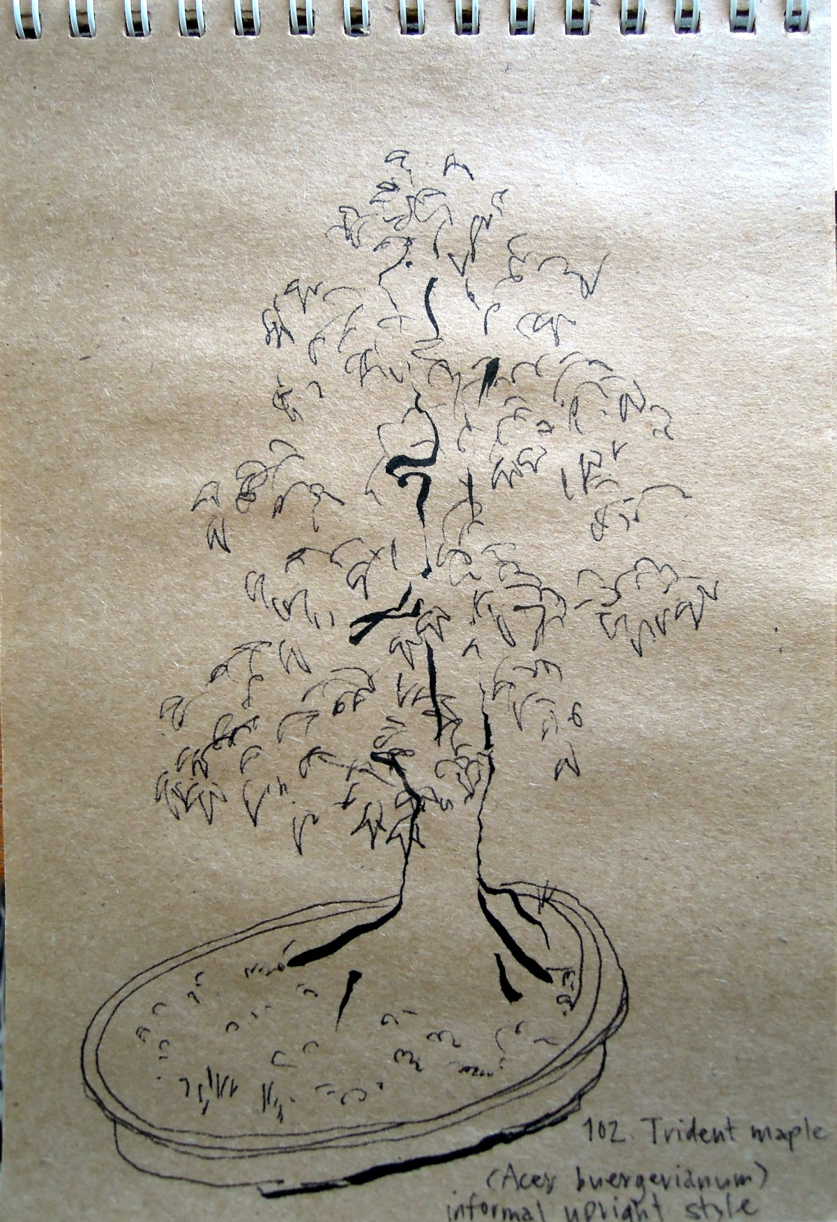 Sketch of trident maple at the Bonsai Garden at Lake Merritt, Oakland