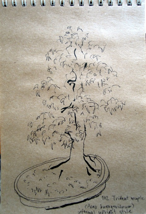 Sketch of trident maple at the Bonsai Garden at Lake Merritt, Oakland