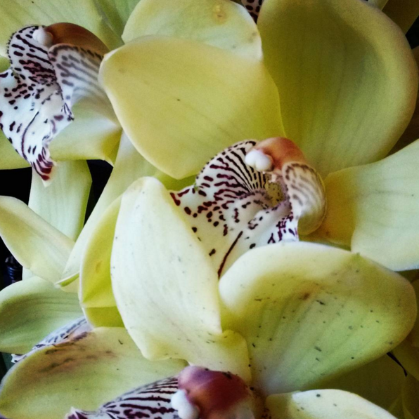 Yellow orchids in bloom