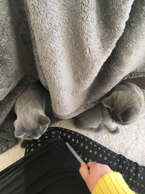 two British Blue kittens looking at someone waving a pen