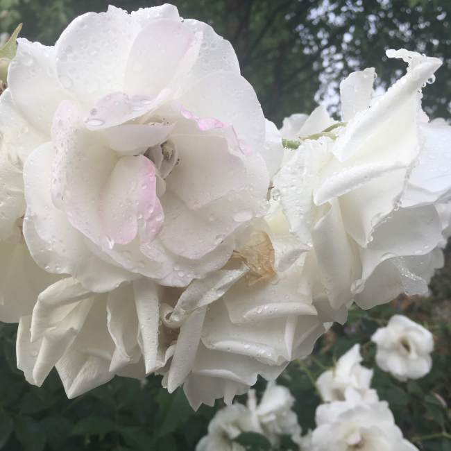 Dewy white roses