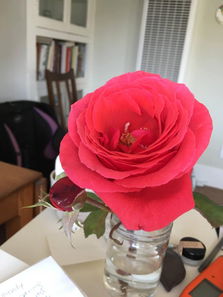 """Fragrant Cloud"" rose in bloom in a jar on a desk"