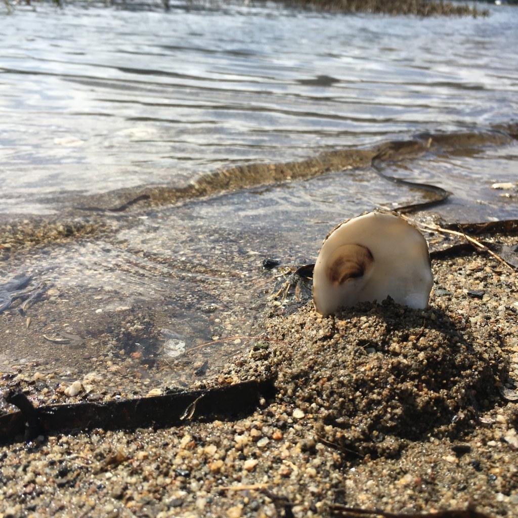 Oyster shell stuck into rocky sandy shoreline, near Point Reyes Station