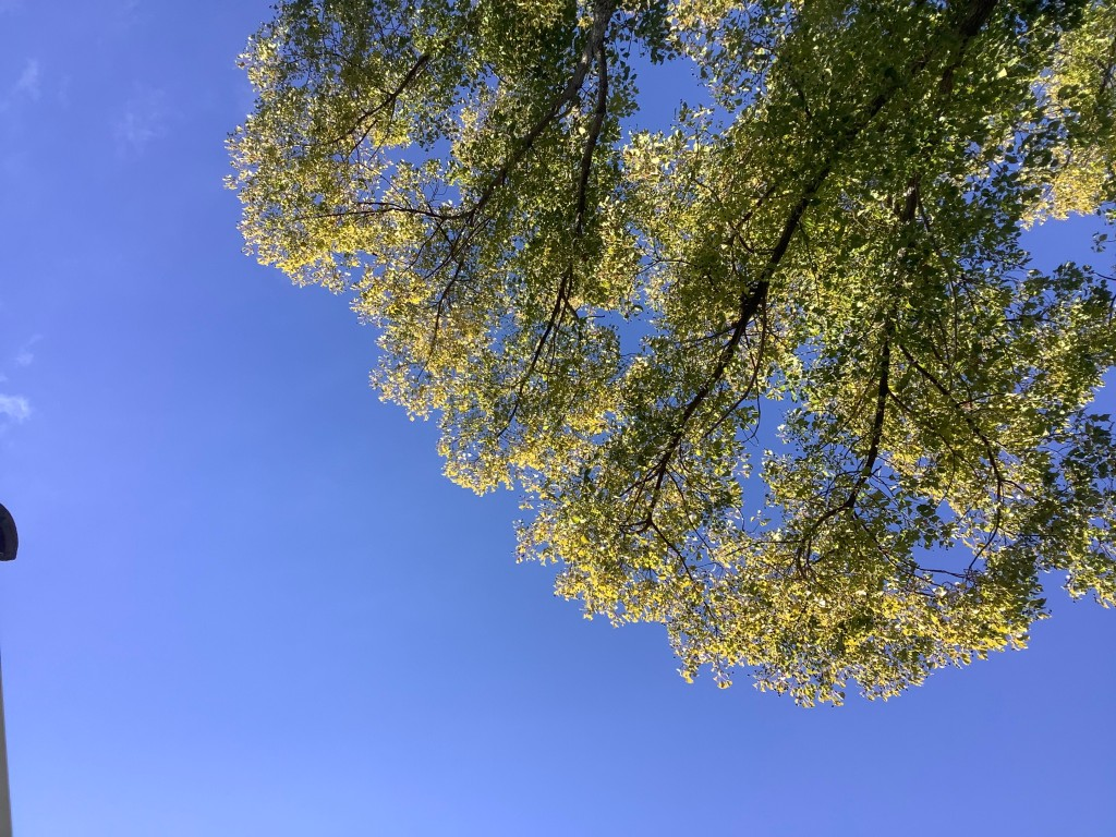 Green-leafed tree against a blue sky, as seen from below